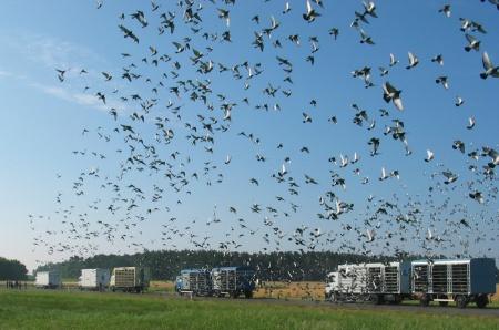 Auflass von Brieftauben zu einem Wettflug mit zahlreichen Kabinentransportern